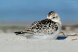 _JFF0535 Sanderling Sleeping Sandy Beach.jpg