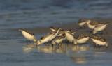 _JFF8032 Sanderlings Feeding.jpg