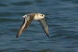 _JFF8237 Sanderling Flight Over Water.jpg