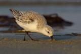 _JFF8317 Sanderling Feeding in Sand.jpg