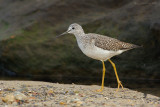 _JFF4509 Yellow Legs at Jetty.jpg