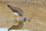 _JFF4539 Yellow Legs Feeding.jpg