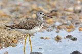 _JFF4548 Yellow Legs Ocean Side Near Berts.jpg