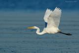 _JFF9809 Great Egret in Flight.jpg