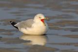 _JFF3098 Ring Bill Gull Calling on Sand Flat.jpg