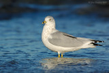 ring_billed_gulls