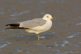 _JFF3087 Ring Billed Gull Lower Sand Flat.jpg