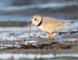 NW80359 Piping Plover With Bambo Worm.jpg