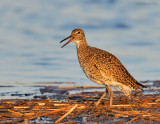 _NW83564 Willet