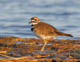 _NW83609 Killdeer