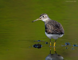 _NW83637 Solitary Sandpiper