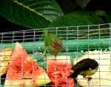 Purple Honeycreeper (female)