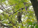 First look at Common Potoo