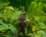 A very wet Palm Tanager