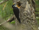 Black Backed Woodpecker
