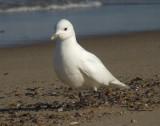 Ivory Gull 2010