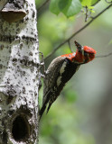 Red-breasted x Red Naped Sapsucker Hybrids