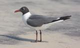 Laughing gull, alternate adult