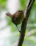 Pacific Wren (#2 of 2)