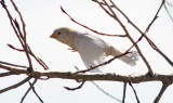 House Sparrow, leucistic female