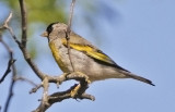 Lawrence's Goldfinch, male
