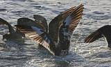 Heermann's Gull, schizochroic adult (#1 of 2)
