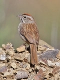 Rufous-crowned Sparrow (#2 of 2)