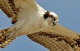 Osprey, juvenile (#2 of 2)