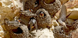 Cliff Swallows (#1 of 3)