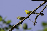 Yellow Warbler - male with juvenile