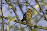 Song Sparrow - juvenile