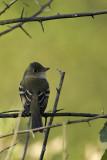 Empid flycatcher