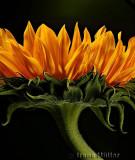 Spirited (Challenge: Flowers II)