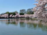Cherry blossom time again