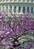 Capitol and the purple tree