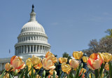 Tulips and the semi-indistinct mass of the Capitol