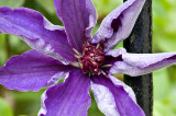 Clematis almost open