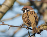 Tree & House Sparrows
