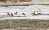 Partridges - Perdix perdix.jpg