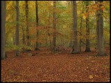 Beech forest.Scania, Swedenjpg