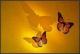 Butterflies shadows.