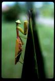 Praying mantus Bali