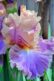 Garden Iris_0746