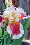 Garden Iris_0809