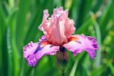 Iris_0998