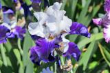 Iris_1039