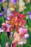 Iris_1042
