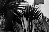 Agave and Shadow BW-Wide