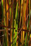 Autumn Reeds Number 2 (Wide Vertical)