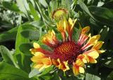 Fanfare Blanket Flower